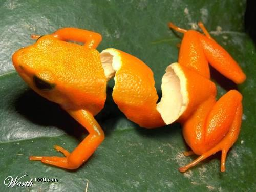 orange_frog